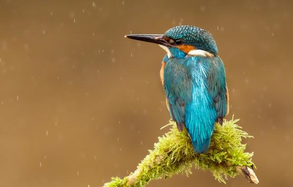 Picture drops, rain, bird, branch, beak, kingfisher, alcedo atthis, common Kingfisher