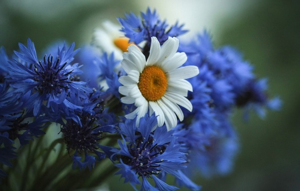 Picture flowers, chamomile, field, cornflowers