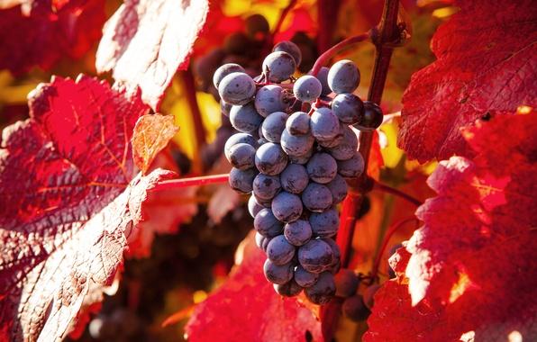 Picture autumn, nature, foliage, grapes, nature, grapes, autumn leaves
