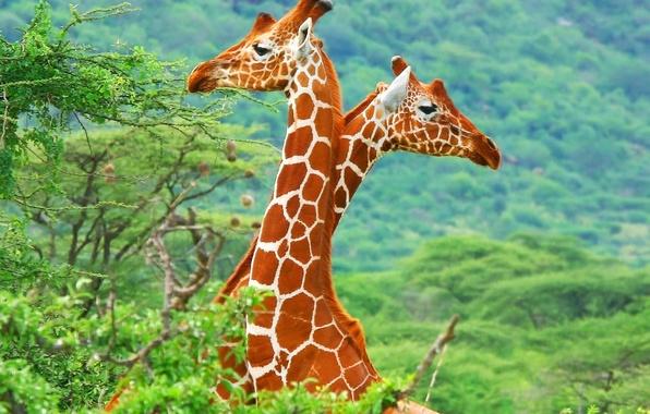 Picture giraffes, Savannah, Africa