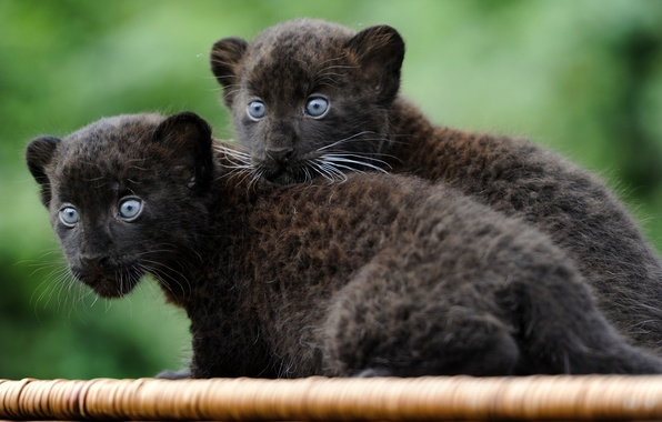 Picture cats, animals, Wallpaper, Panther, small, kittens, wallpaper