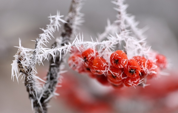 Picture ice, macro, snow, berries, branch, bunch, red, frost