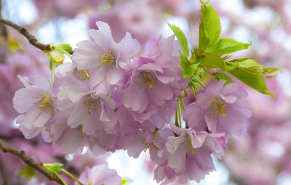 Picture macro, cherry, branch, Sakura, flowering, flowers