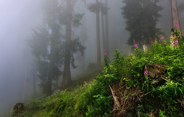 Picture forest, grass, leaves, trees, nature, fog, grass, forest, trees, nature, leaves, fog