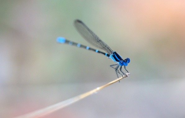 Picture wings, dragonfly, stem, wings, dragonfly, stalk, blue ring, blue rings