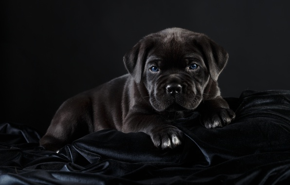 Photo wallpaper black, cane Corso, handsome, puppy