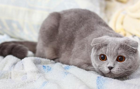 Picture cat, cat, grey, Koshak, pussy, Kote, shotlandskaya fold