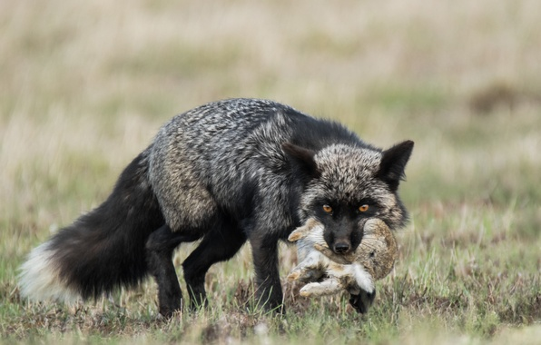 Picture rabbit, Fox, mining, Silver Fox