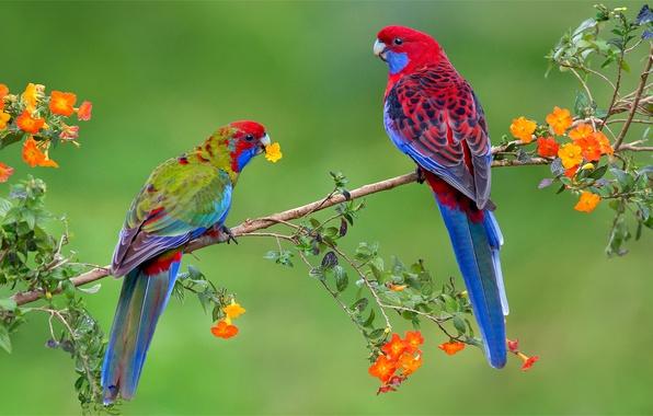 Picture flowers, birds, branches, bright, pair, parrots, exotic, Rozella