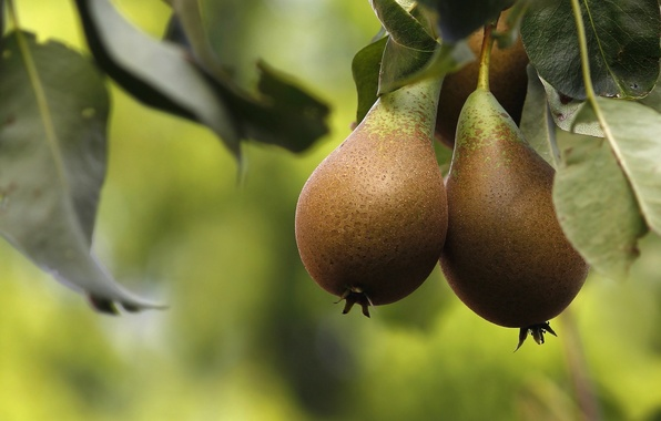 Picture macro, tree, fruit, fruit, pear