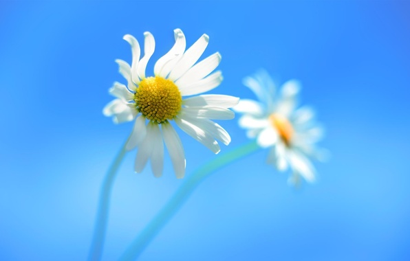 Picture Flowers, Chamomile, Windows_8