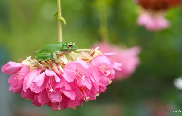 Photo wallpaper macro, flowers, frog, treefrog, inflorescence, drevenica