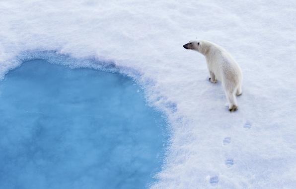 Picture snow, traces, predator, polar bear