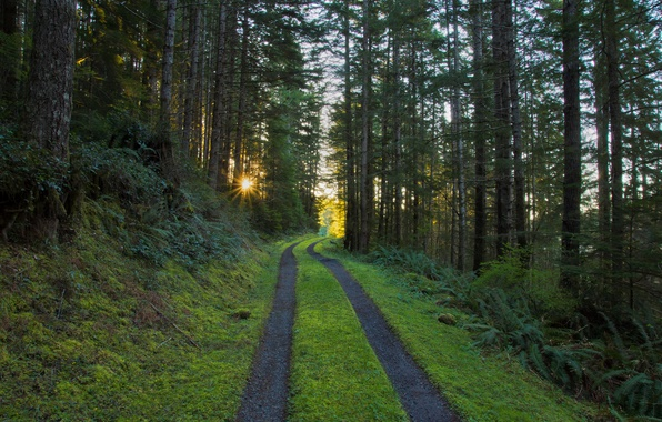 Picture road, forest, the sun, rays, morning, pine