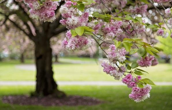 Picture tree, branch, Sakura