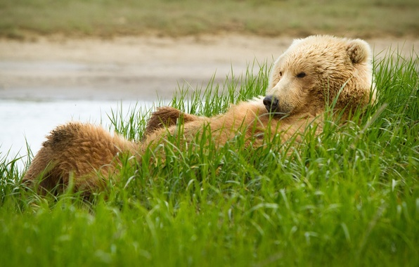 Picture grass, Bear, grizzly