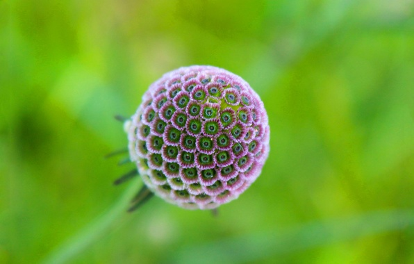Picture flower, nature, ball, petals, exotic