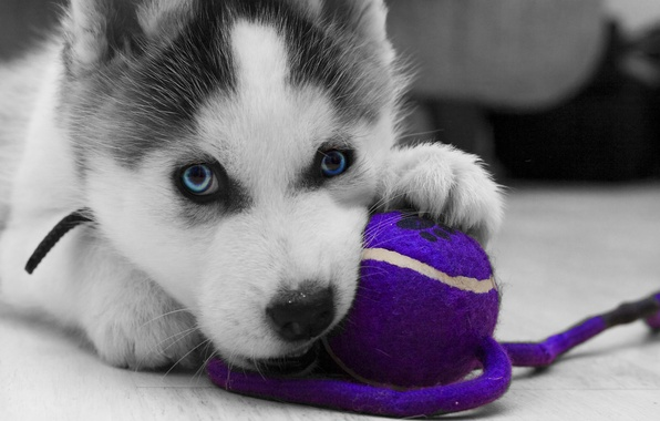 Picture logo, toy, puppy, close-up, dog, animal, wolf, black and white, ball, violet, playing, gray, paws, …