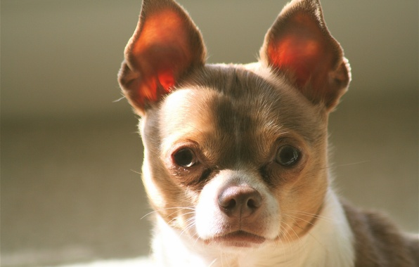 Picture look, dog, ears, face, Chihuahua