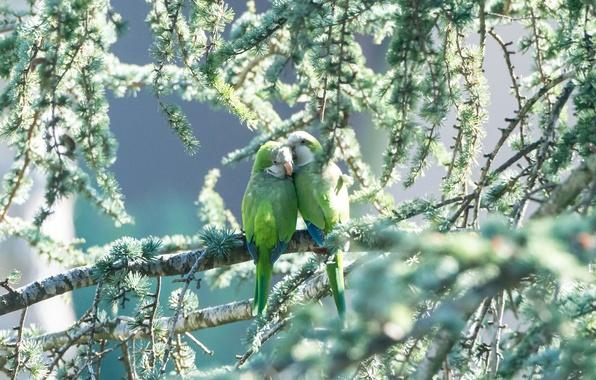 Picture greens, birds, pair, parrots