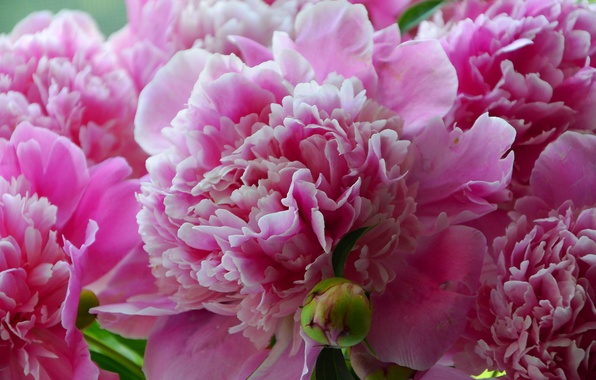 Picture summer, flowers, close-up, green, pink, beautiful, beautiful Wallpaper, peonies, peony