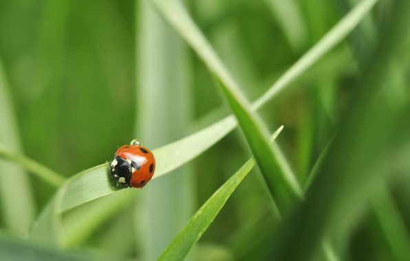 Picture grass, ladybug, green