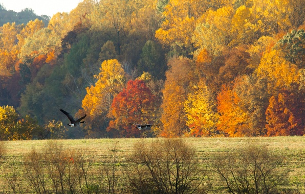 Picture field, autumn, forest, the sky, birds, geese