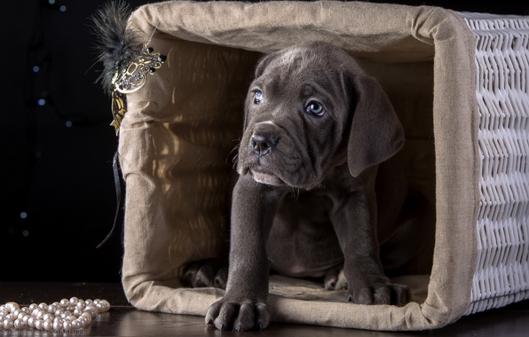 Picture basket, puppy, breed, cane Corso