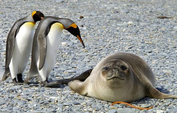 Picture animals, snow, birds, nature, seal, ice, penguins, frost, Antarctica
