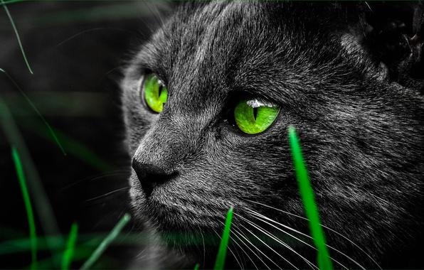 Picture eyes, cat, black, muzzle, green, grass, closeup