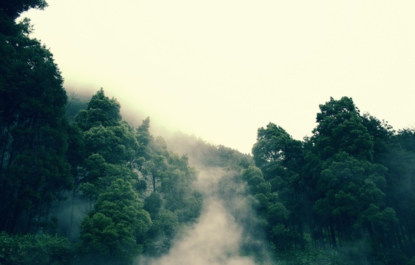 Picture forest, fog, tree