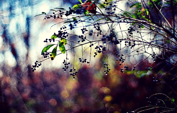 Picture leaves, color, drops, nature, berries, photo, background, branch, Wallpaper, plants, blur, bokeh