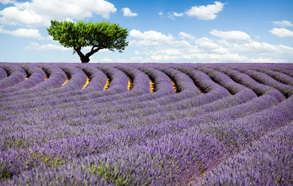 Picture field, the sky, clouds, flowers, nature, tree, lavender