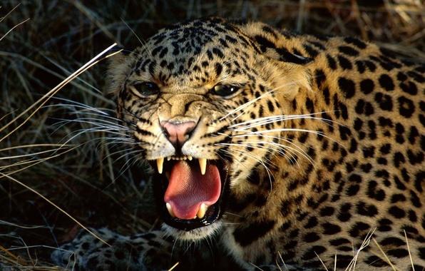 Picture Leopard, fangs, grin