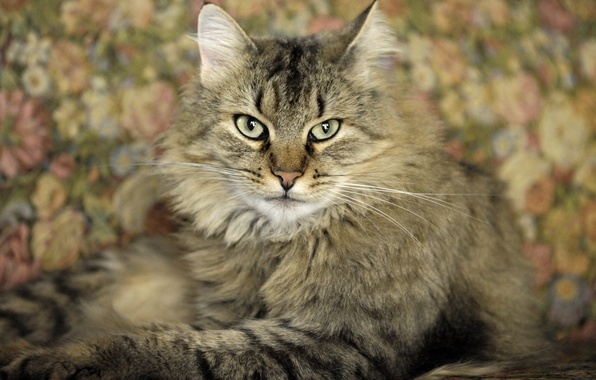 Picture cat, cat, background, widescreen, Wallpaper, wallpaper, widescreen, cat, background, view, full screen, HD wallpapers, widescreen, …