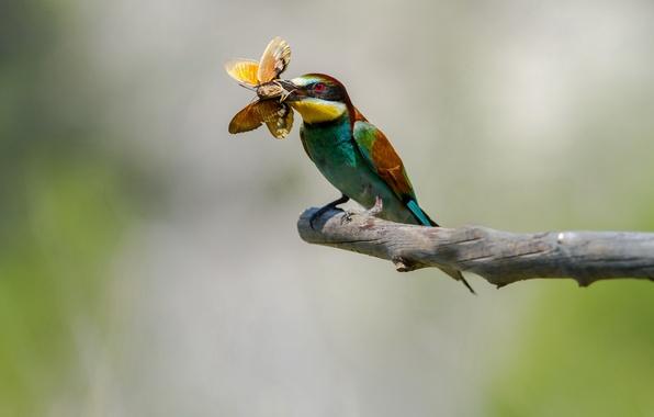 Picture bird, butterfly, branch, mining, cheloeka, European bee-eater