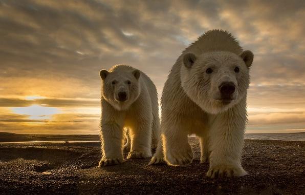 Picture nature, stones, coast, predators, North pole, polar bears
