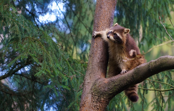 Picture tree, raccoon, on the tree