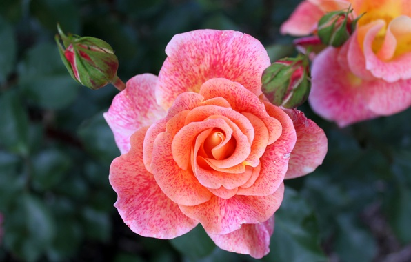 Picture macro, pink, rose, beauty, buds