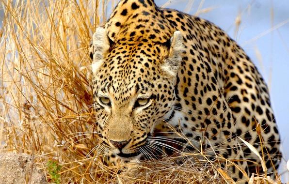 Picture grass, predator, leopard, wild cat