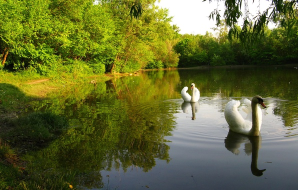 Picture forest, the sky, trees, pond, Park, bird, Swan
