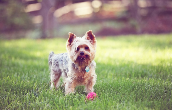 Picture grass, the ball, dog, Terrier