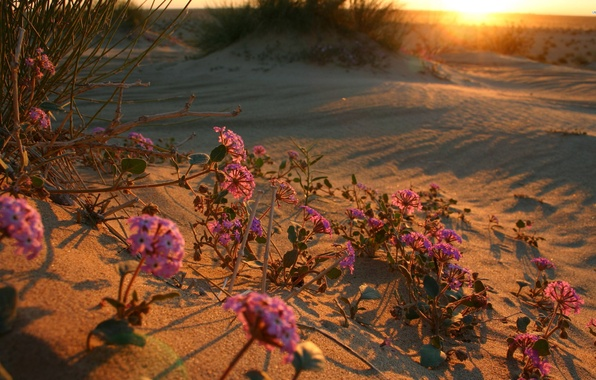Picture sunset, flowers, dawn, desert, flower, desert, sunset, sunrise, desert flower
