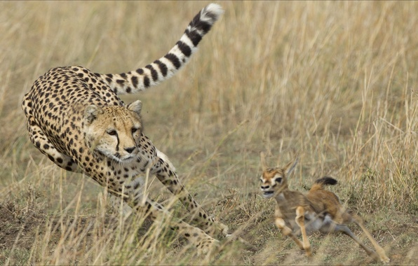 Picture oops, two, Animals, Cheetah, diar