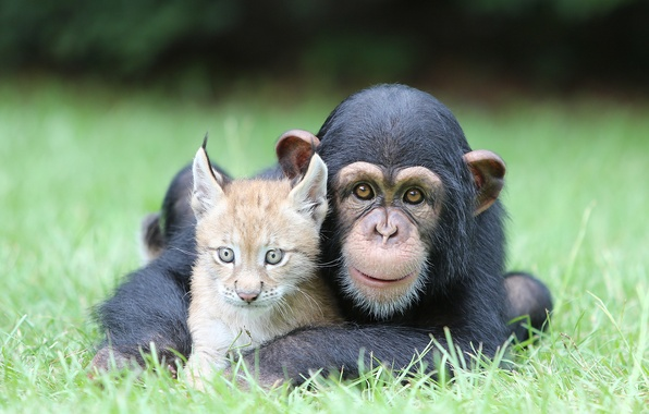 Picture Nature, Cat, Best, Animals, Monkey, Feline, Chimpanzee, Ape, Friend, Lynx, Pals