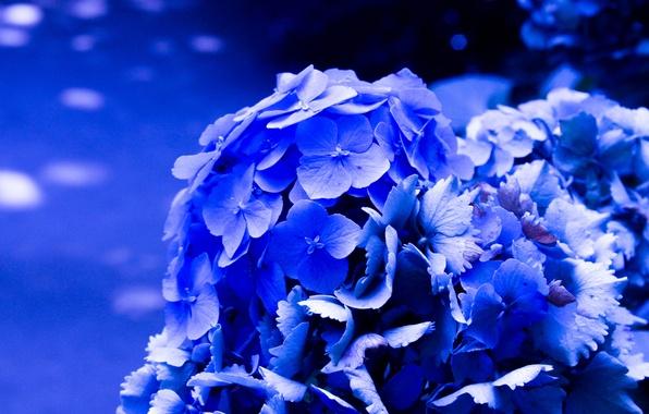 Picture flowers, bright, blue, flowering, hydrangea