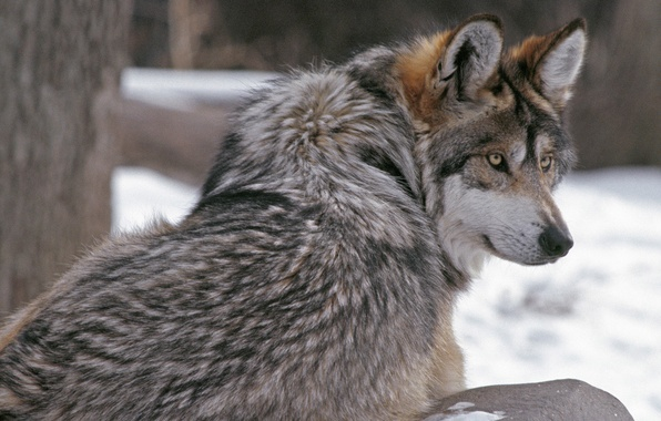 Picture look, wolf, wool, wolf