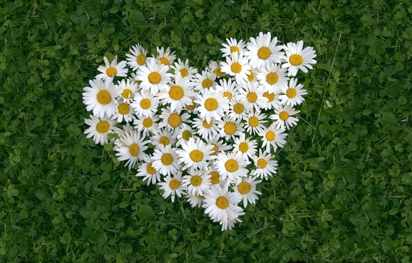 Picture BACKGROUND, GRASS, LEAVES, FLOWERS, HEART, WHITE, CHAMOMILE
