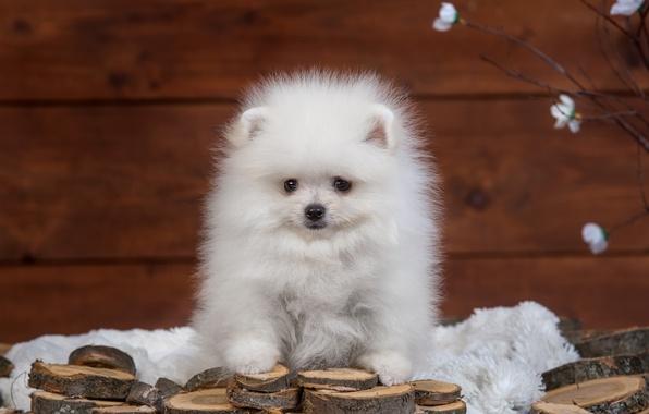 Picture white, fluffy, puppy, Spitz
