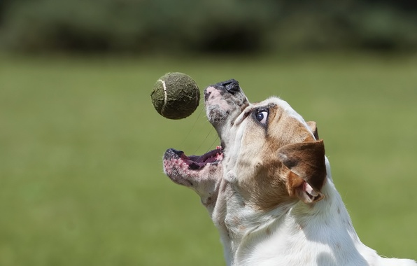 Picture the ball, dog, bulldog